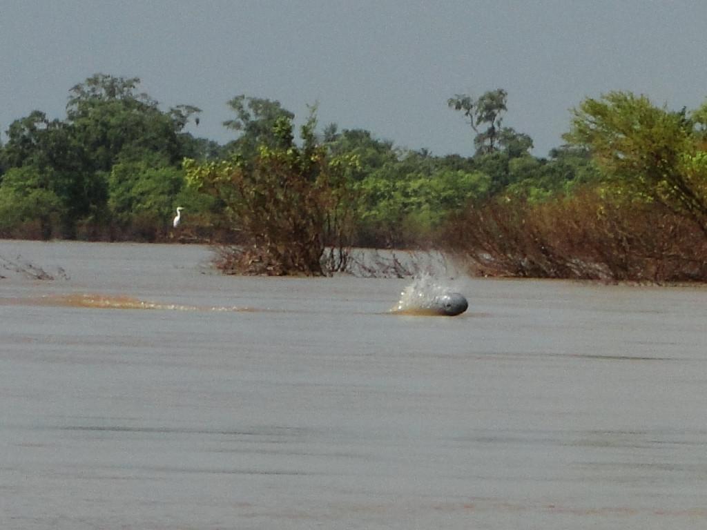Irrawaddydolfijn in de Mekong