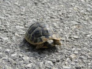 Het schildpadje op de weg