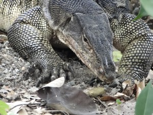 Singapore - Sungei Buloh Wetland Reserve  - Varaan Close Up