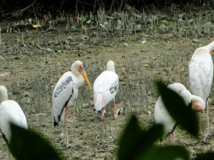 Singapore - Sungei Buloh Wetland Reserve - Watervogels
