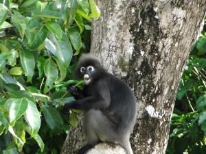 Langkawi Dusky Leaf Monkey