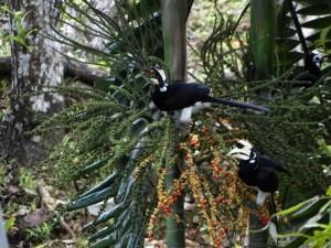 Langkawi Hornbills