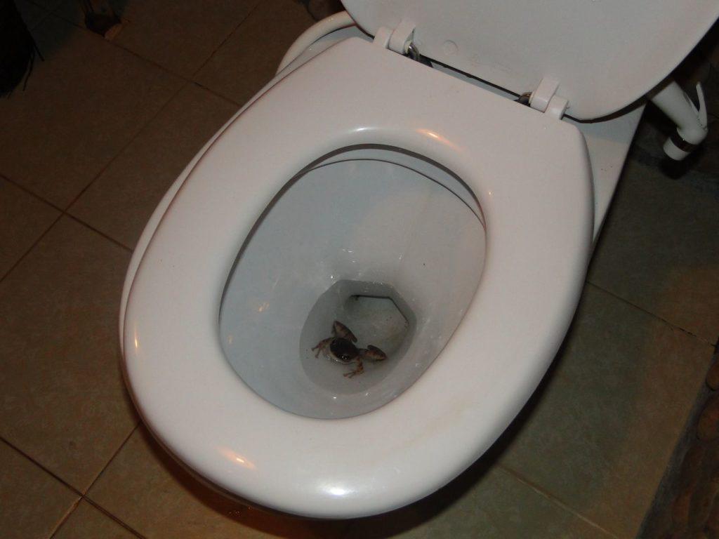 Een kikker onderin de wc-pot