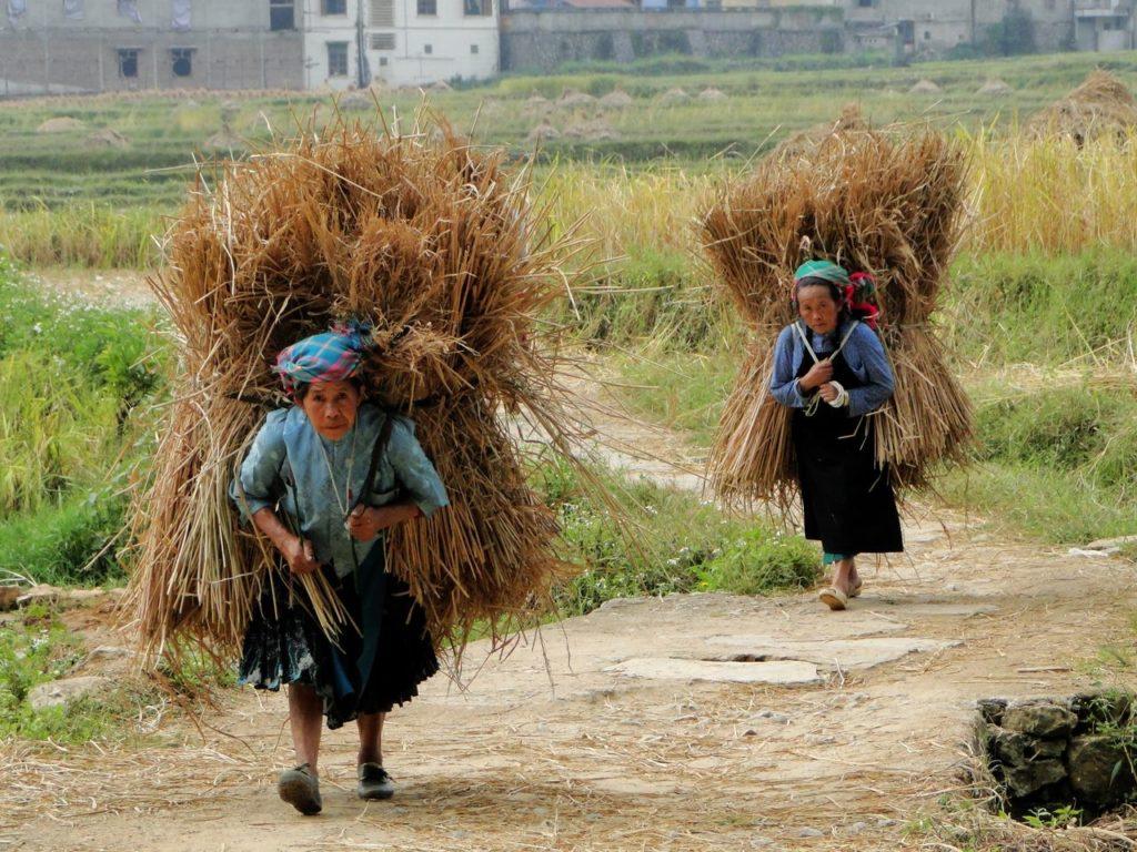 Vietnam (noordoosten) - Meo Vac rijst