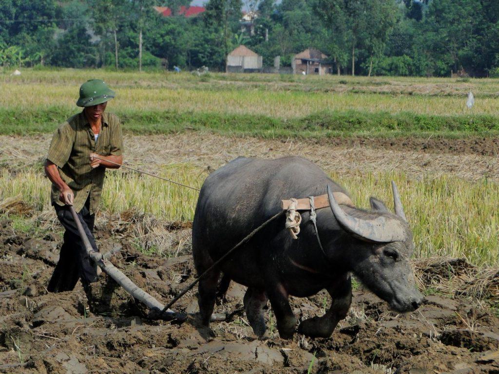 Vietnam (noordoosten) - Ploegen Buffel
