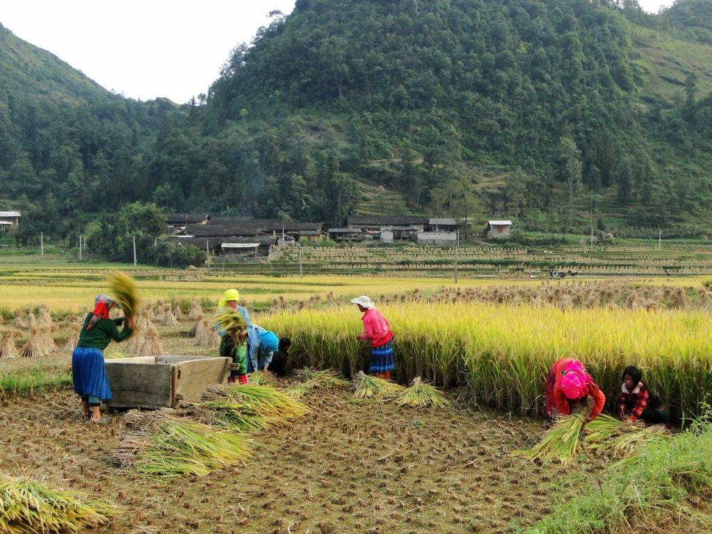 Vietnam (noordoosten) - Rijst oogsten