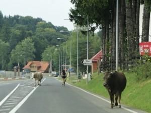 Roemenie - Koeien op de Weg