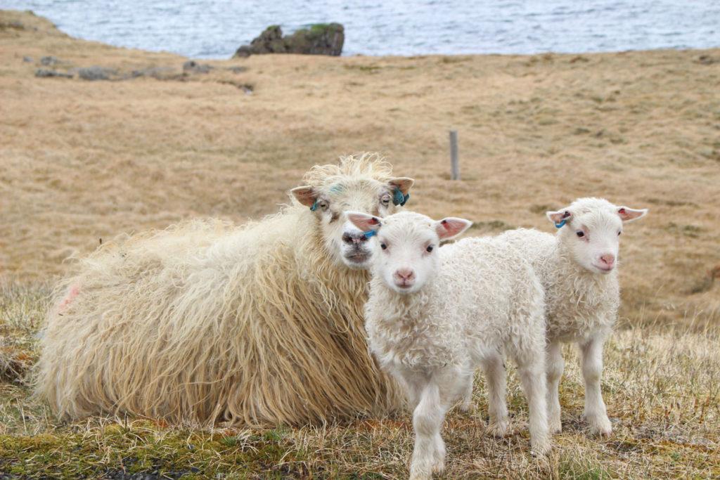 IJsland - Schapen