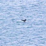 Walvissen spotten in IJsland (zonder boot of excursie)