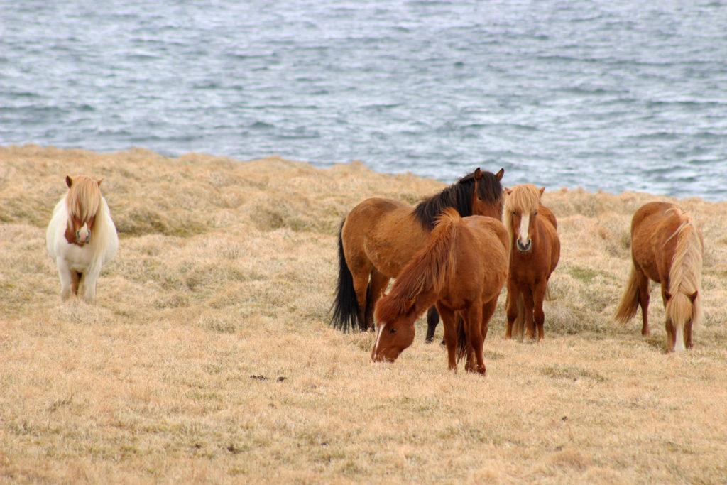 IJsland - paarden