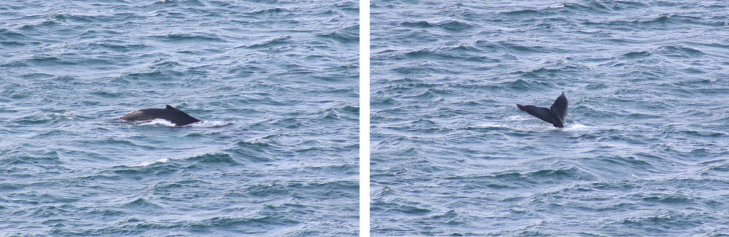 IJsland - walvissen